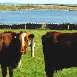 Linnalla cows