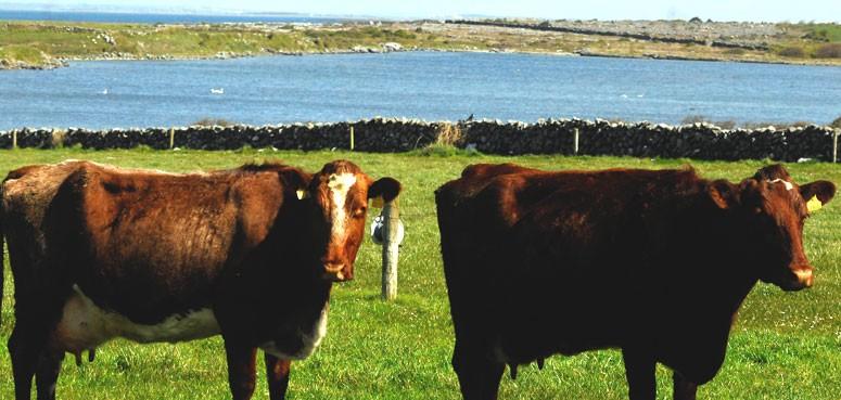 Linnalla cows, ice-cream local flavours in-season