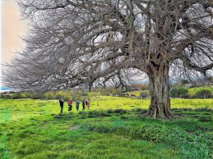 reconnecting with Celtic trees, Burren Events
