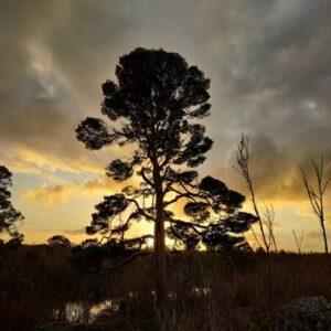 Burren Pine, trees of the Burren